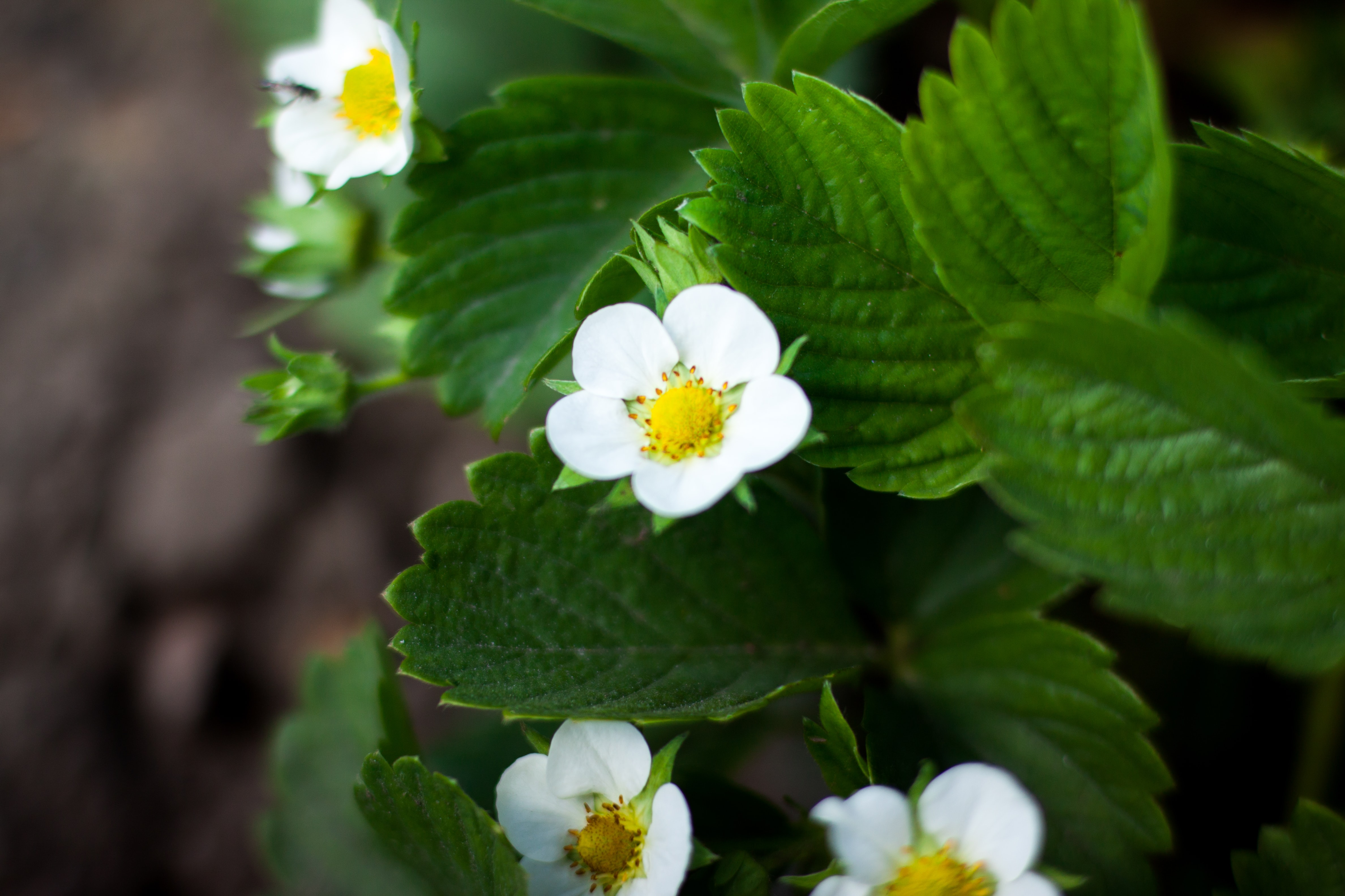 Close-up of white strawberry flowers