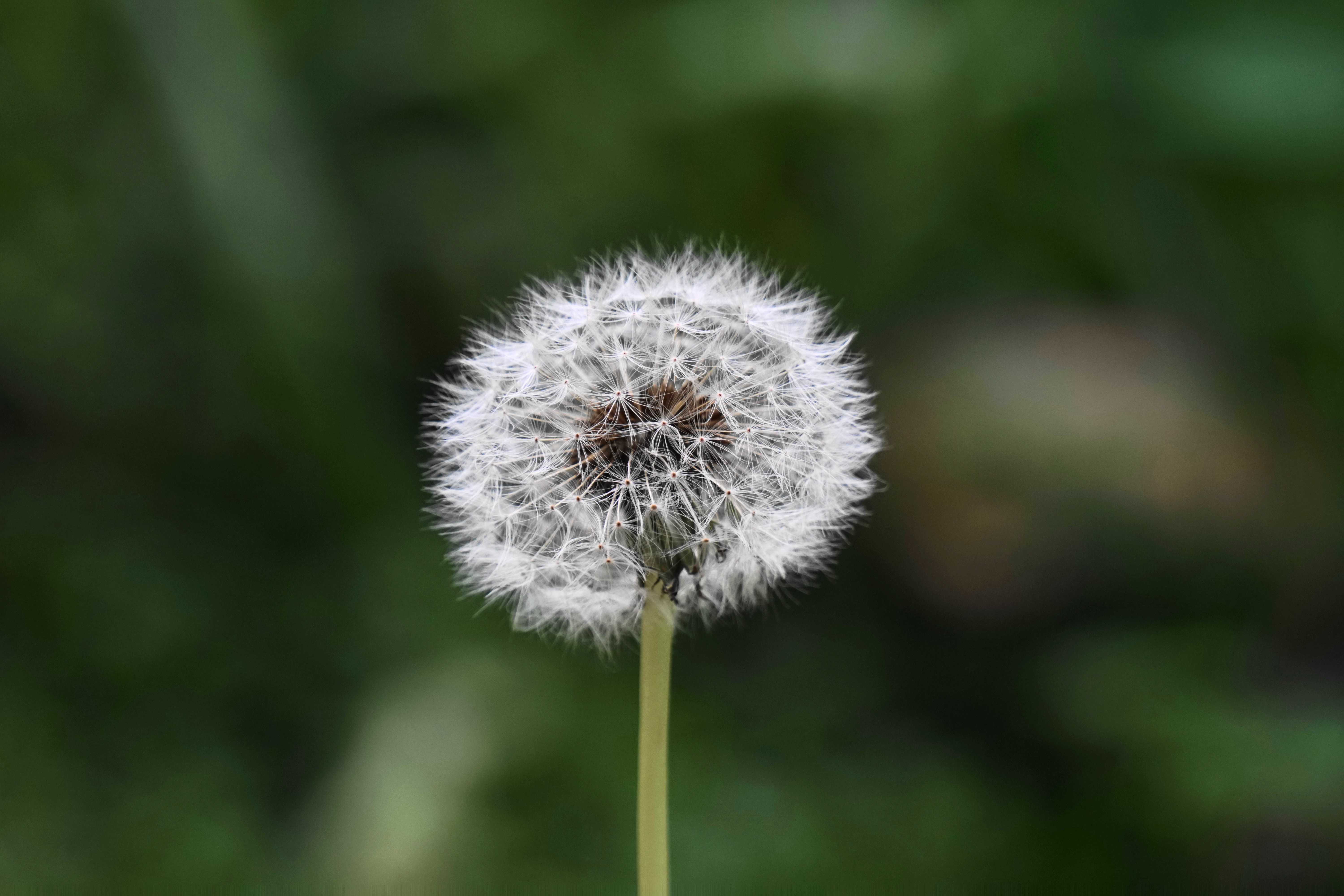 Dandelion weed with fluffy seeds