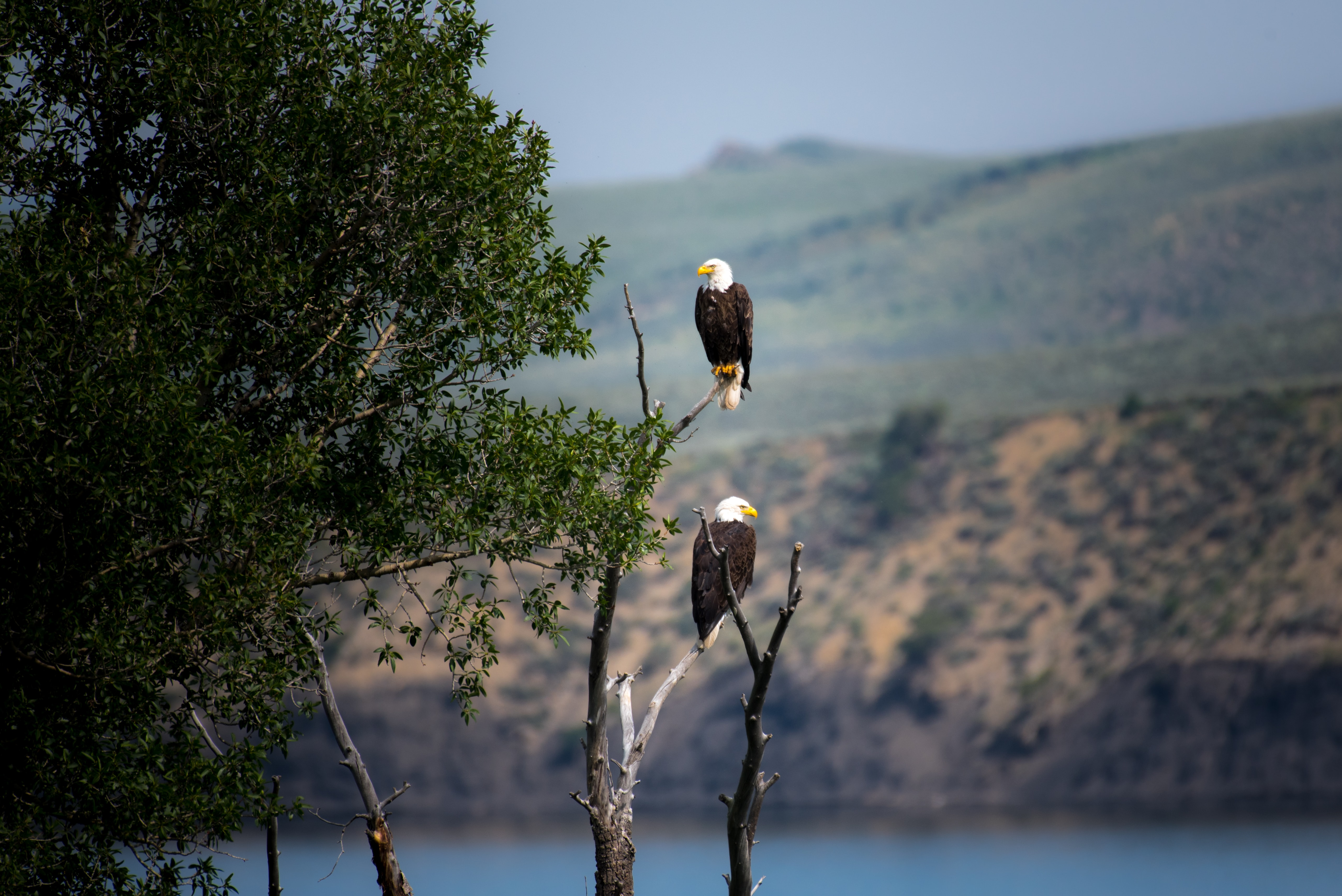 two Bald Eagles perched on gray bare tree branch during daytime