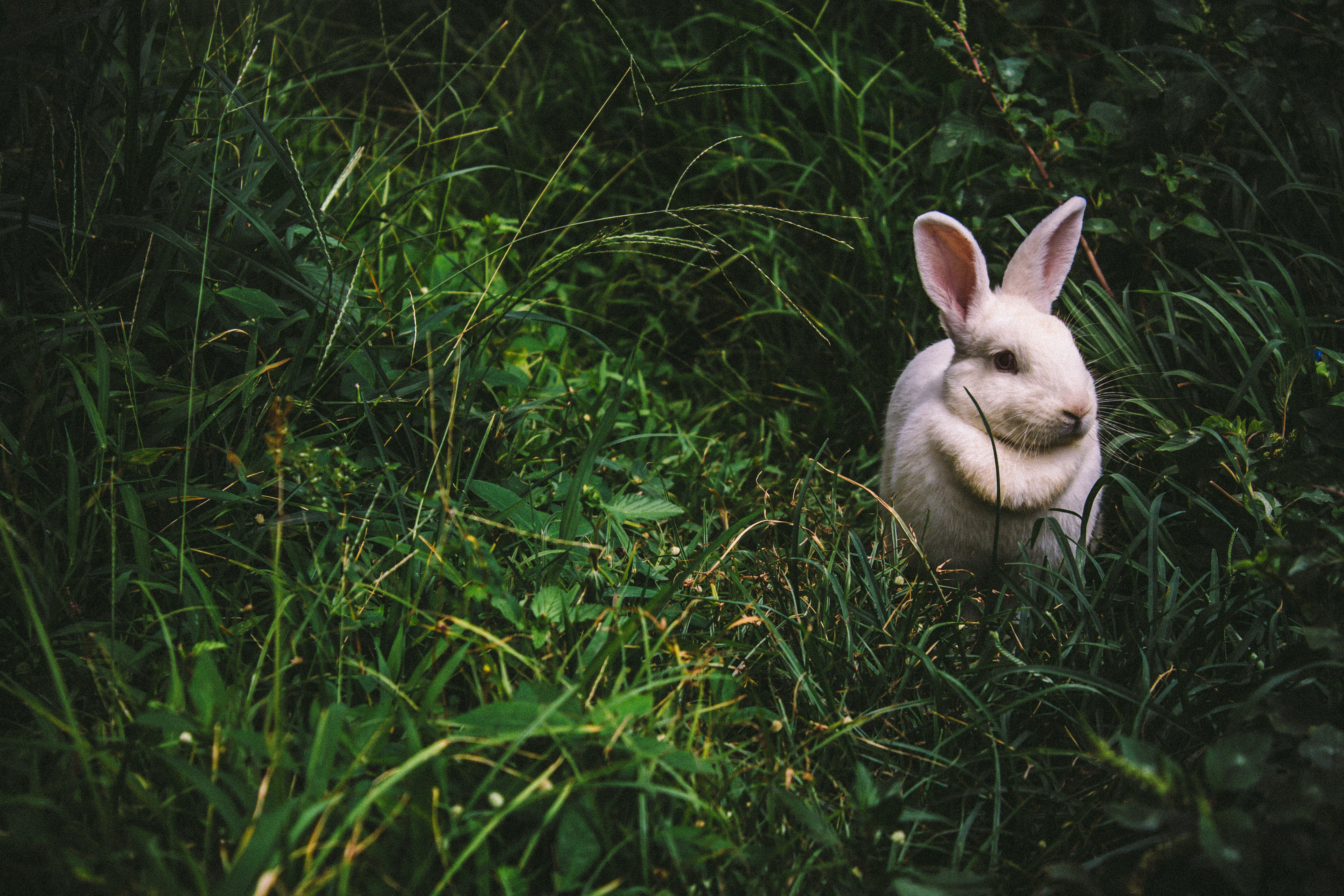 A white rabbit in the grass, Puerto Rico