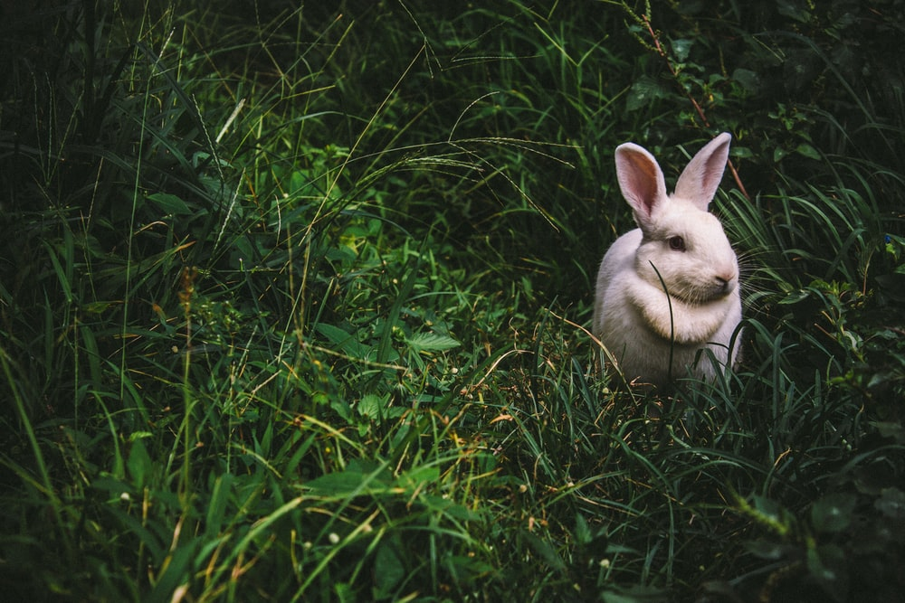 a white bunny rabbit on green grass