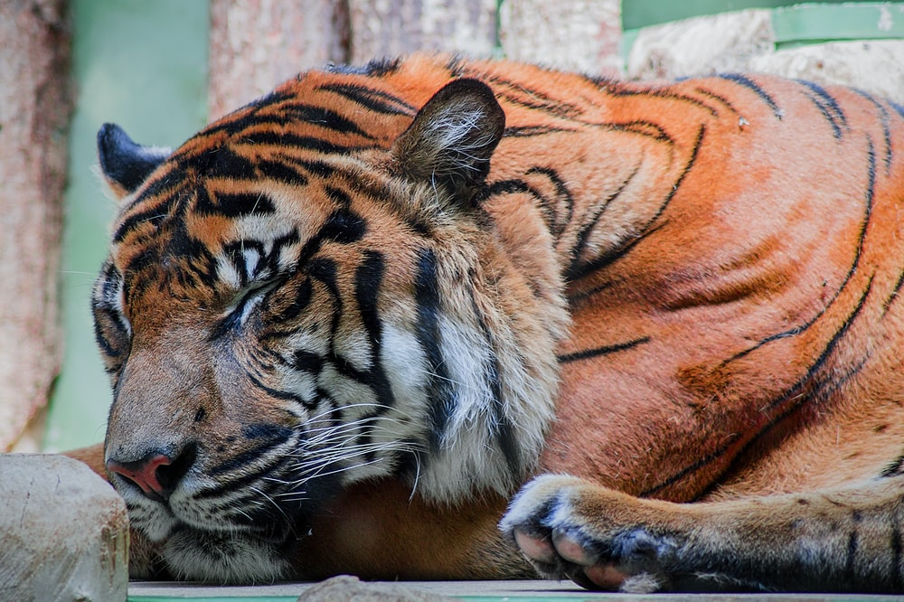 bengal tiger beside brown fence