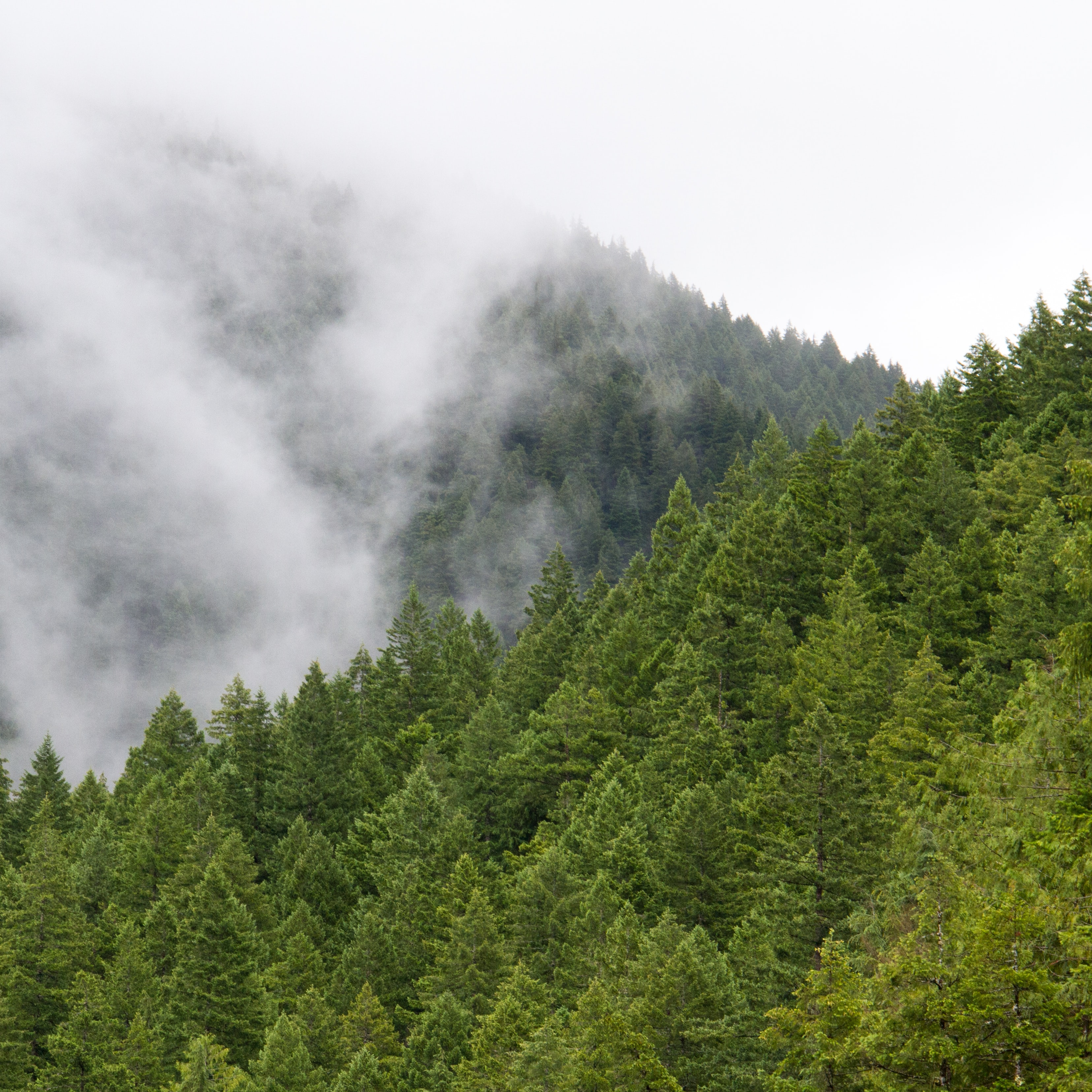 Fog setting on a coniferous forest
