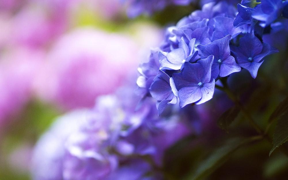 selective focus shot of purple hydrangeas
