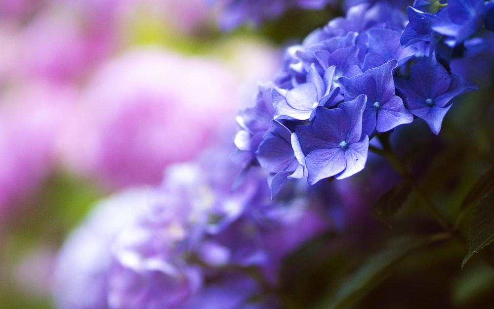 selective focus shot of purple hydrangeas