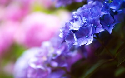 selective focus shot of purple hydrangeas botanical teams background