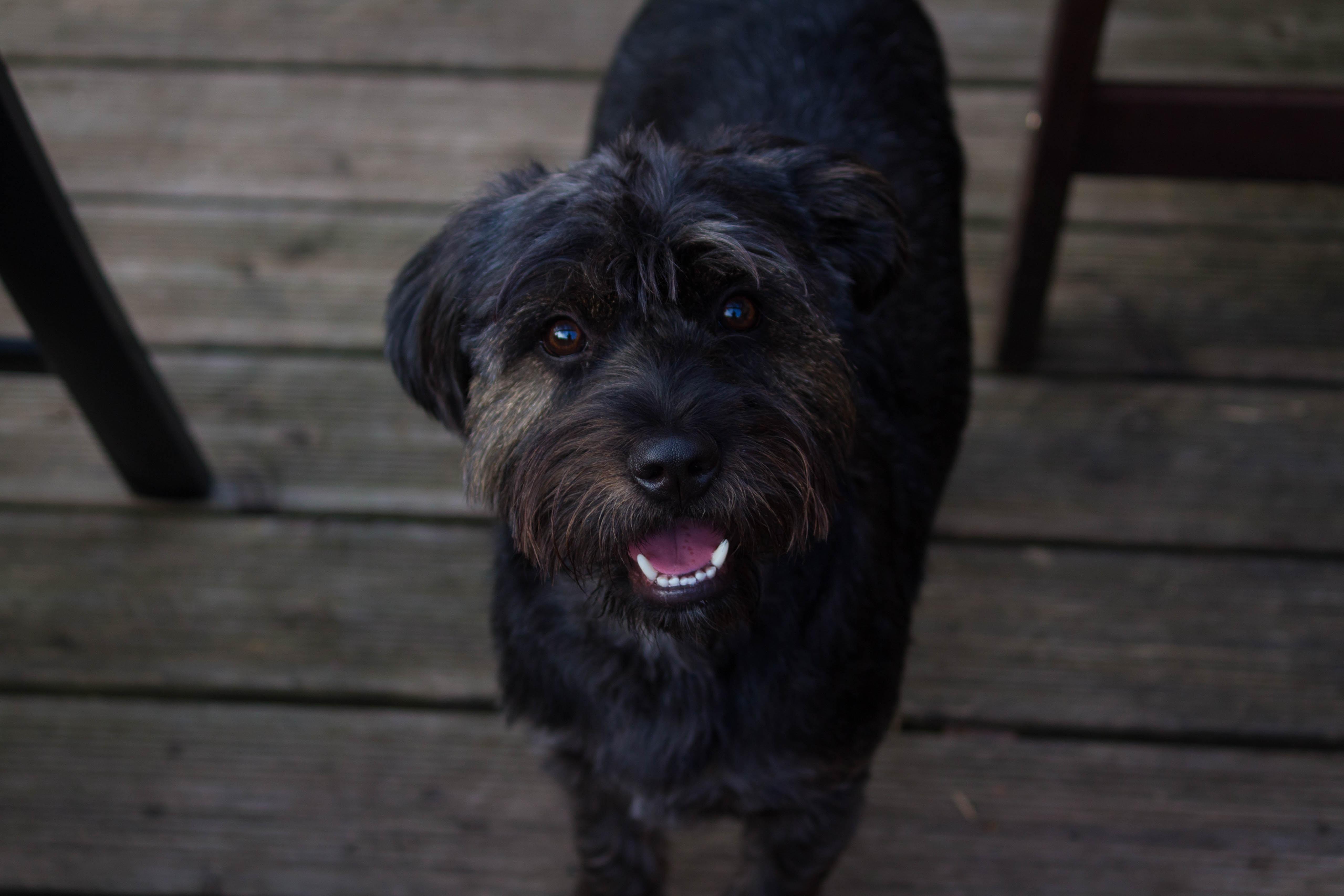 closeup photo of medium-coated black dog