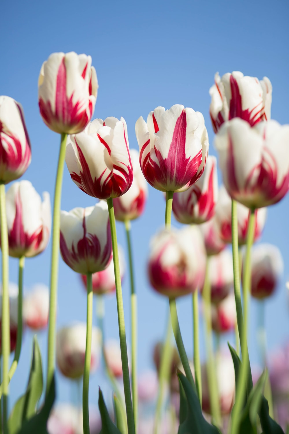 Best 500 tulip pictures hd download free images on unsplash shallow focus photography of white and pink petaled flowers izmirmasajfo