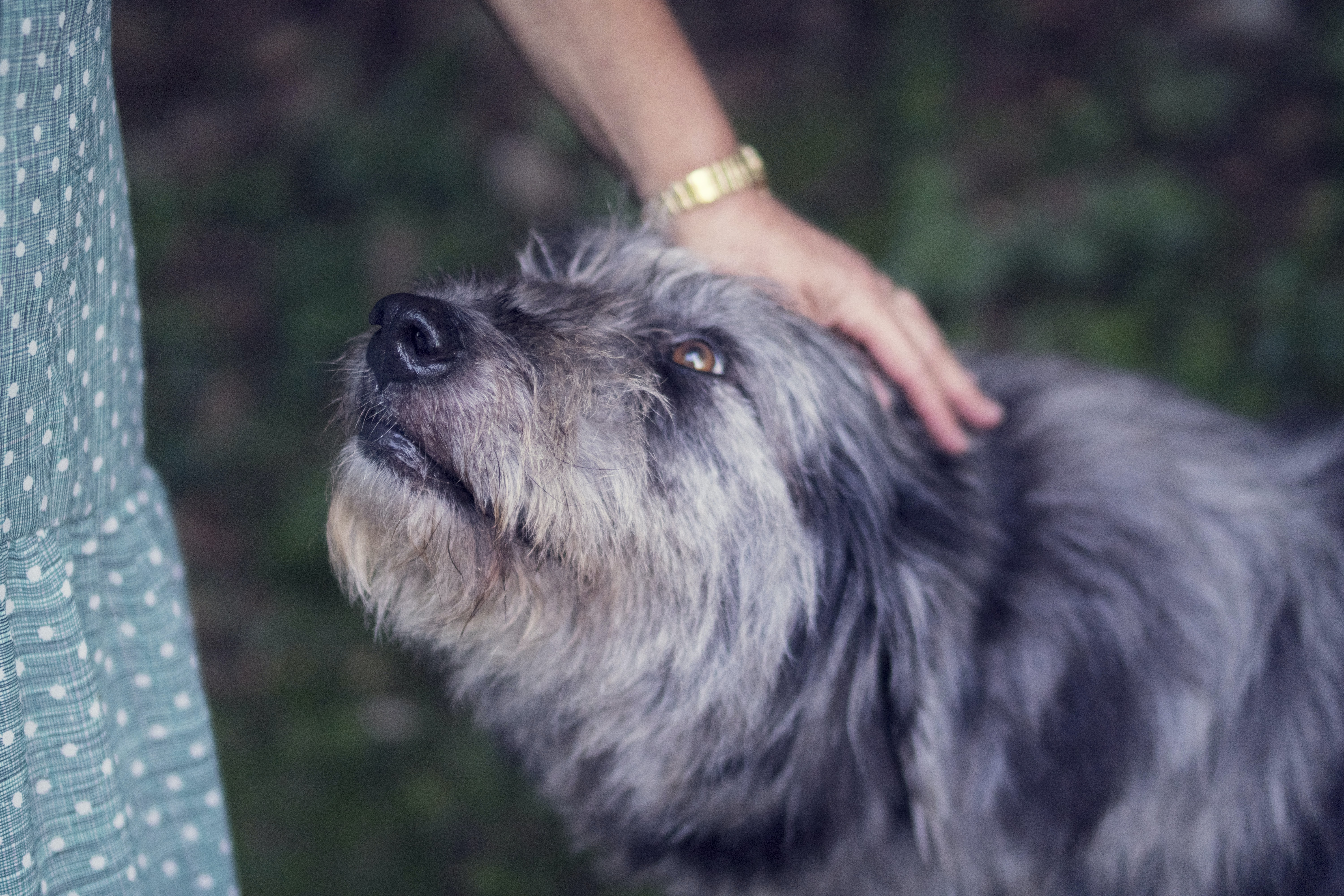 person petting black and white dog