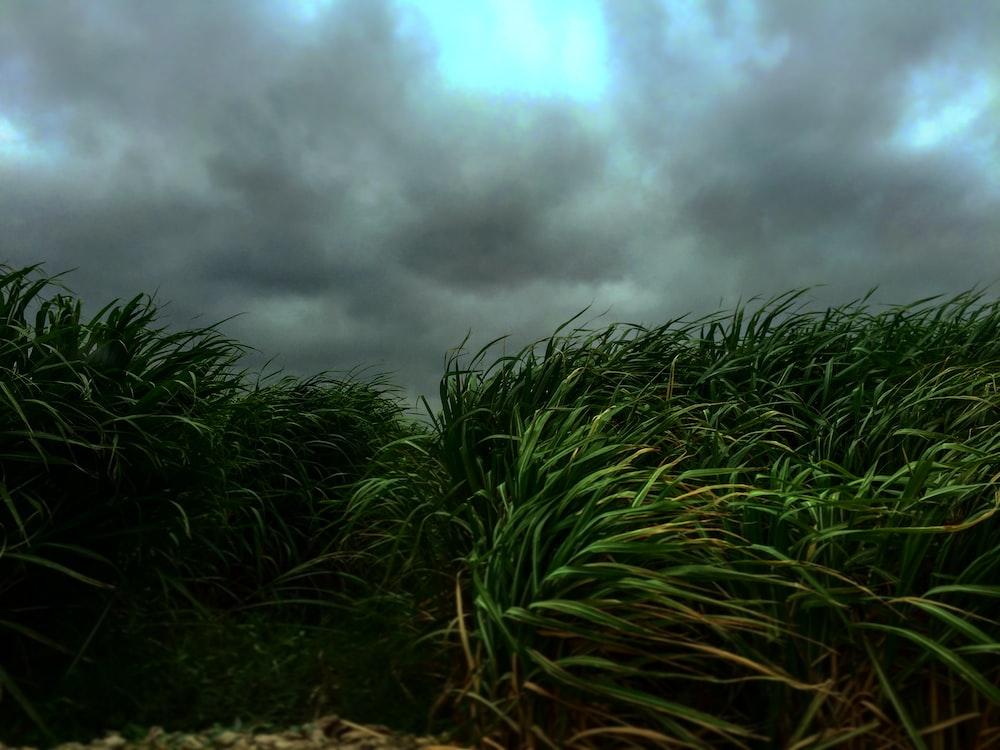 green linear-leafed plants under dark cloudy sky