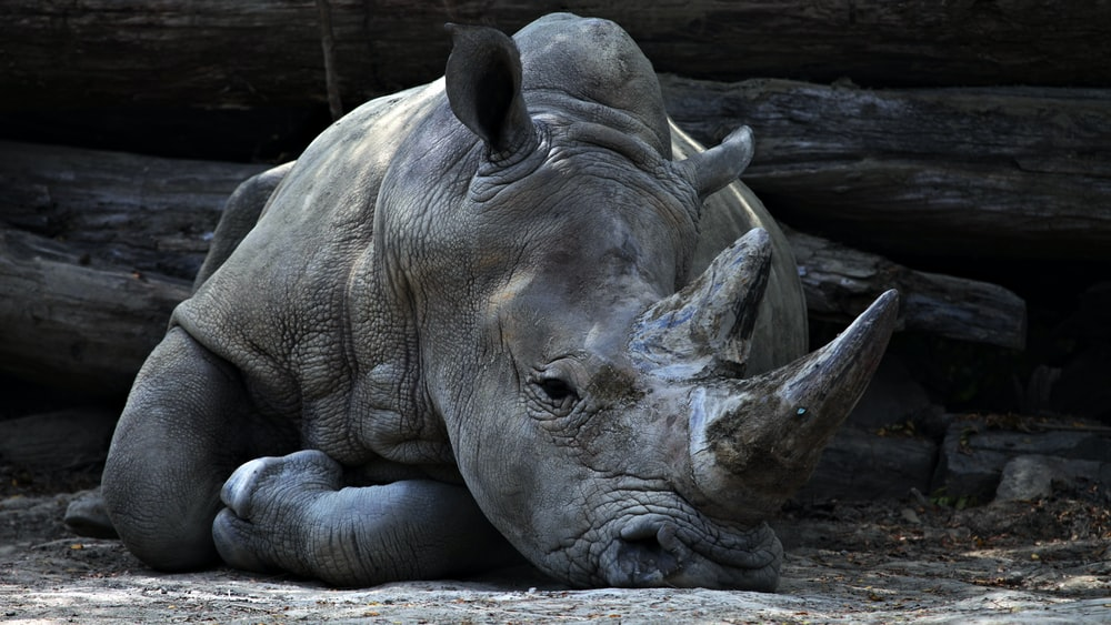 grey rhino lying beside grey cut logs