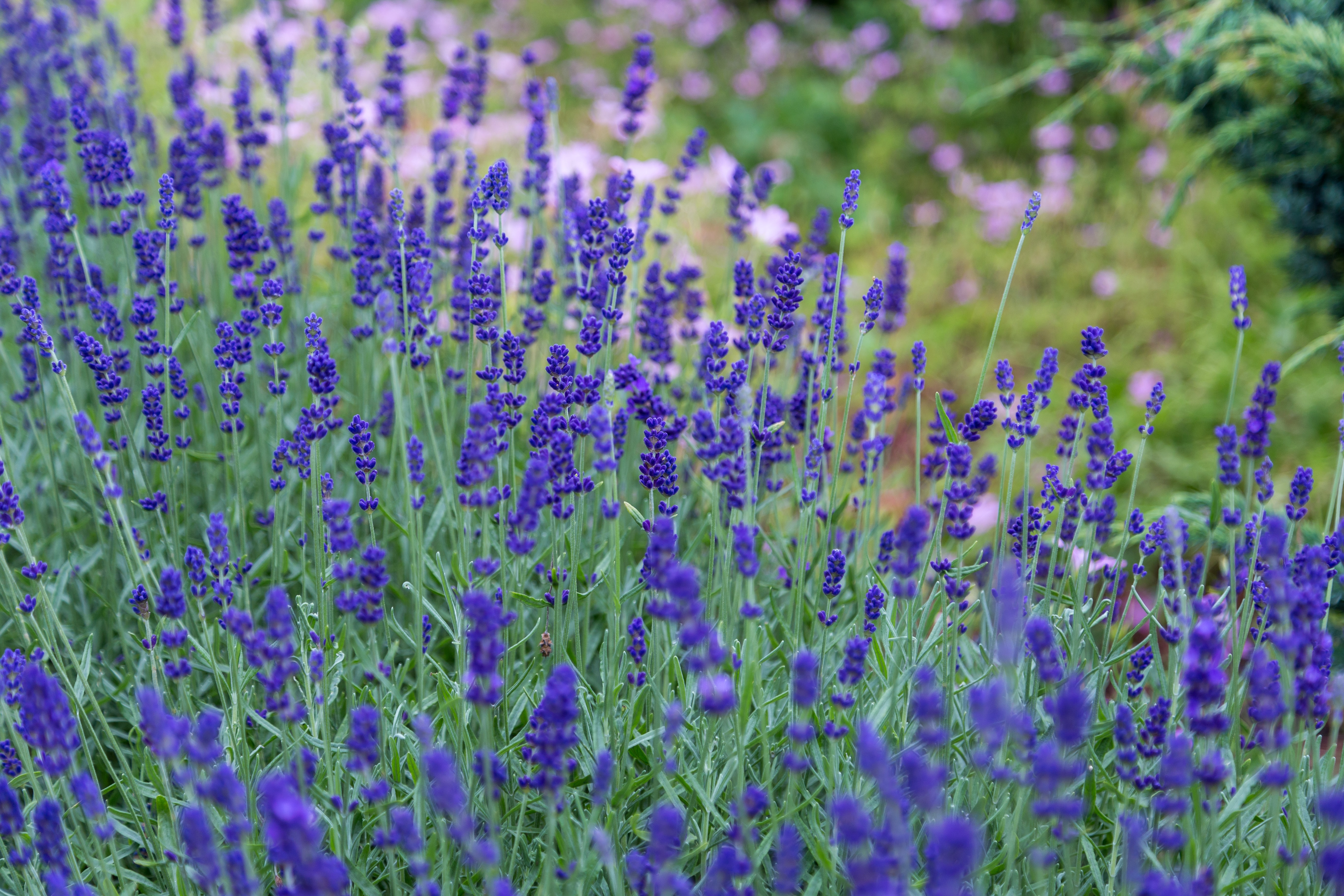 A large grouping of lavender flowers