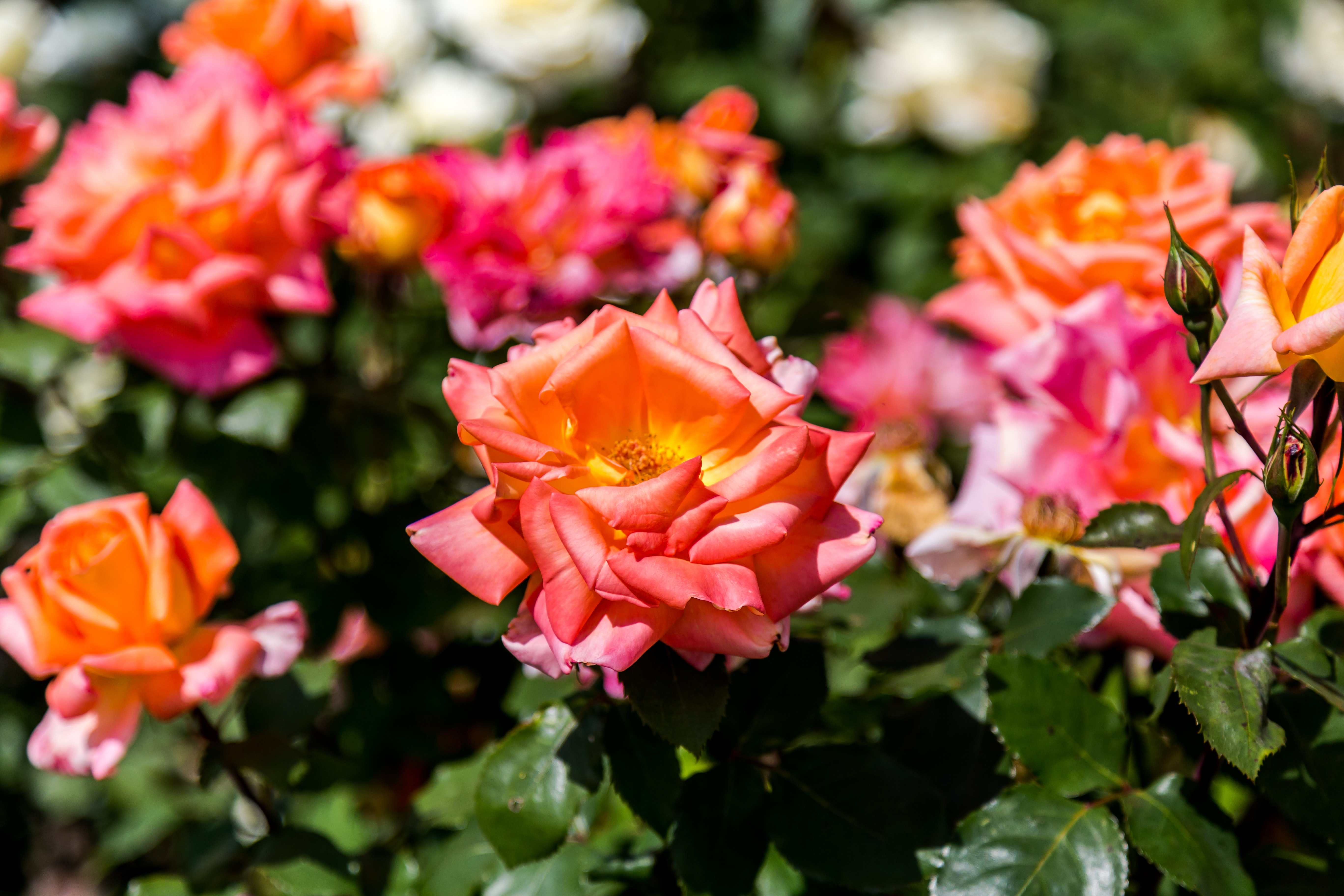 Orange and pink roses blossoming in a botanical garden