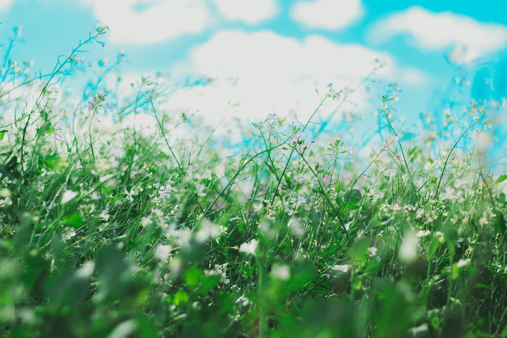 tilt shift photography of white petaled flowers along grasses under blue sky at daytime