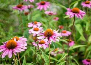 pink petaled flower field