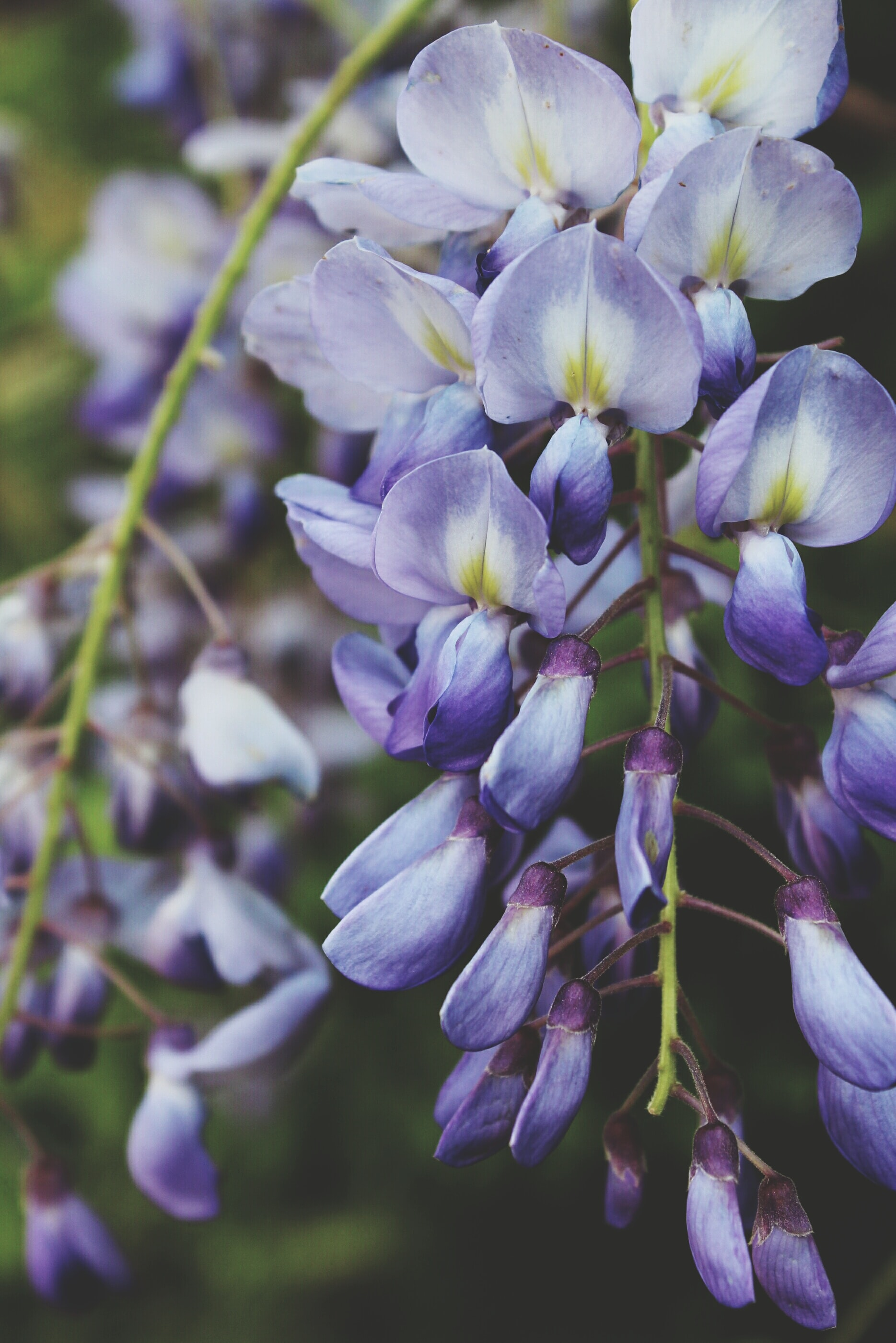 Purple petals on a Wisteria flower bloom in the wild