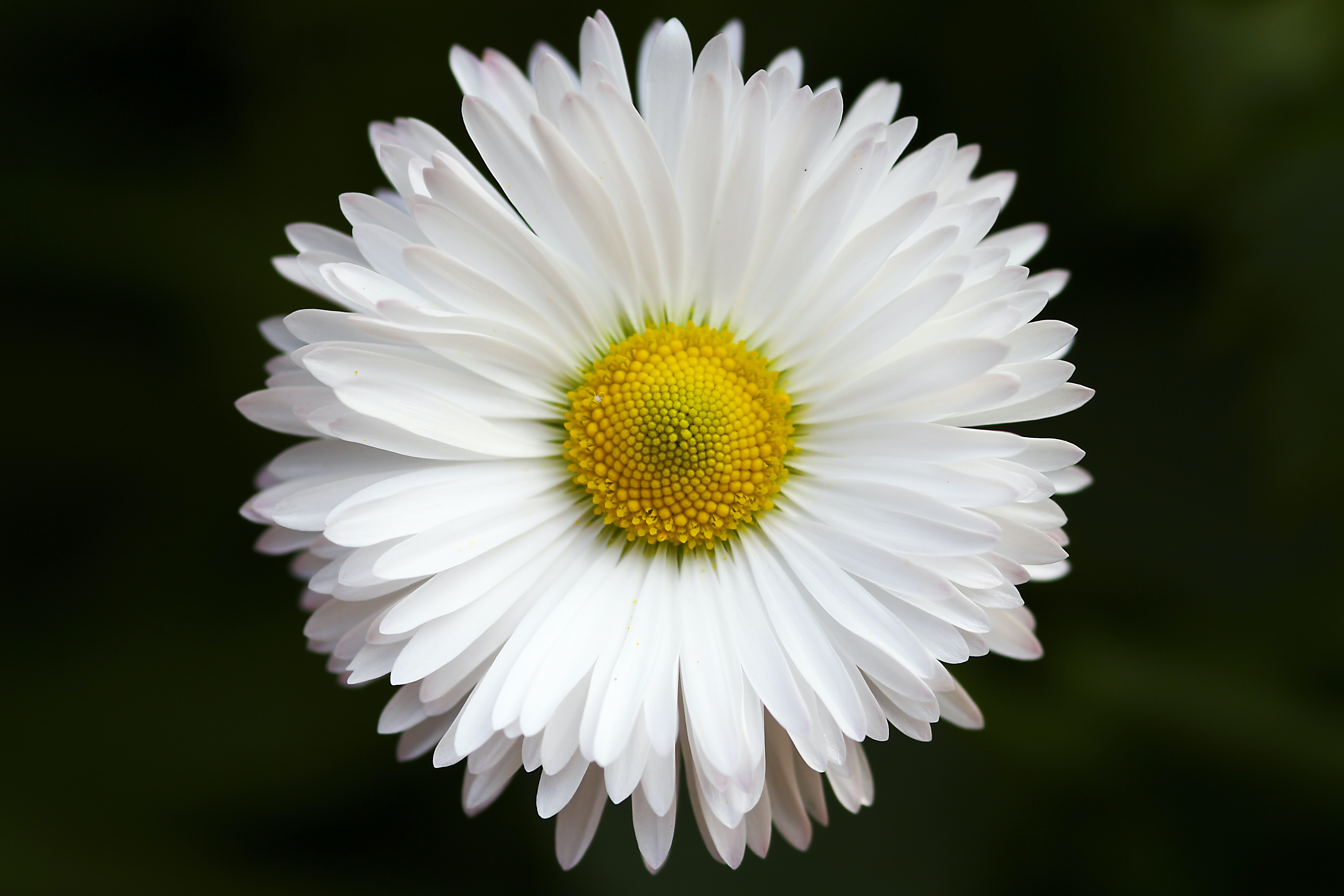 Close-up of a white daisy flower
