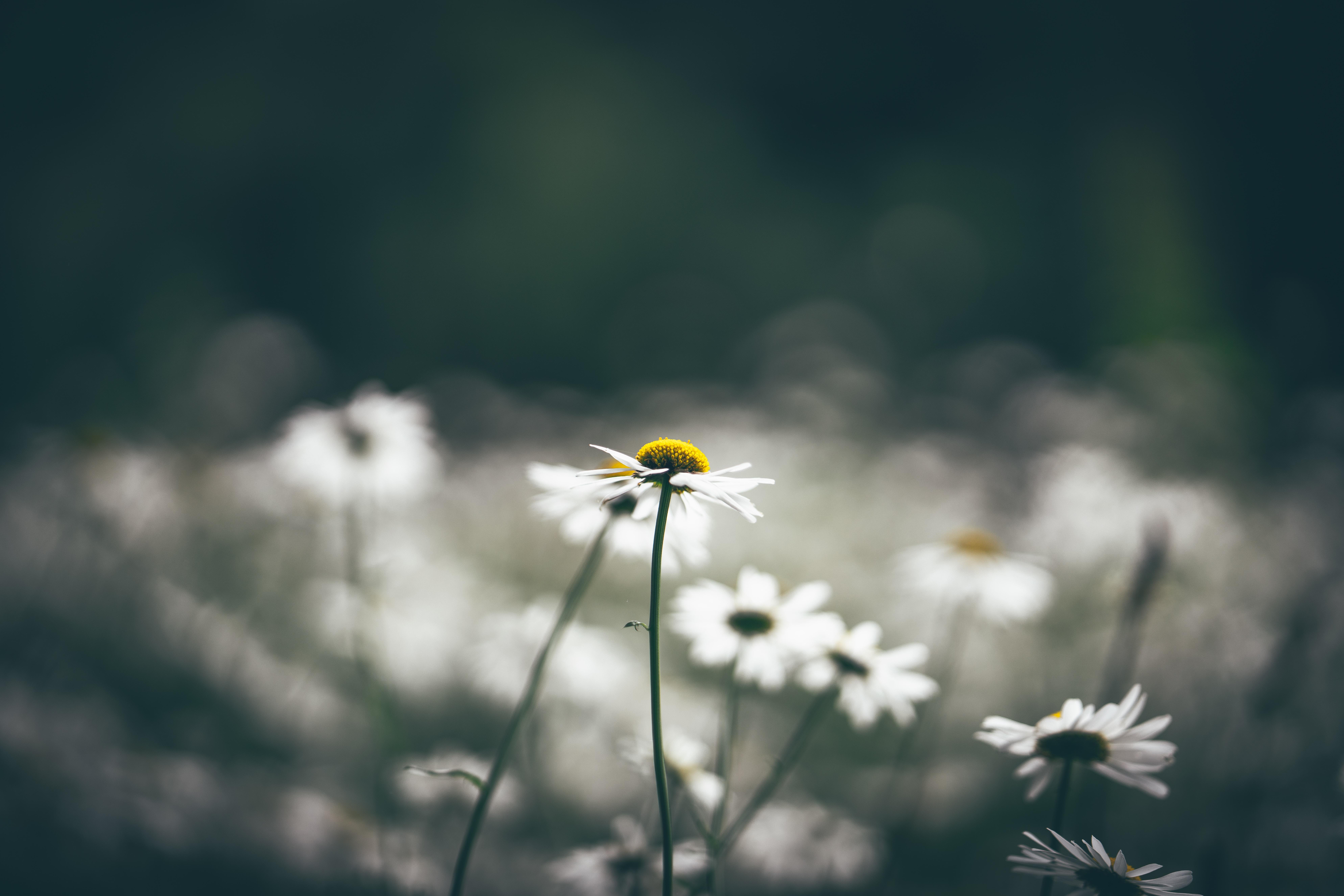 selective focus photo of white daisy