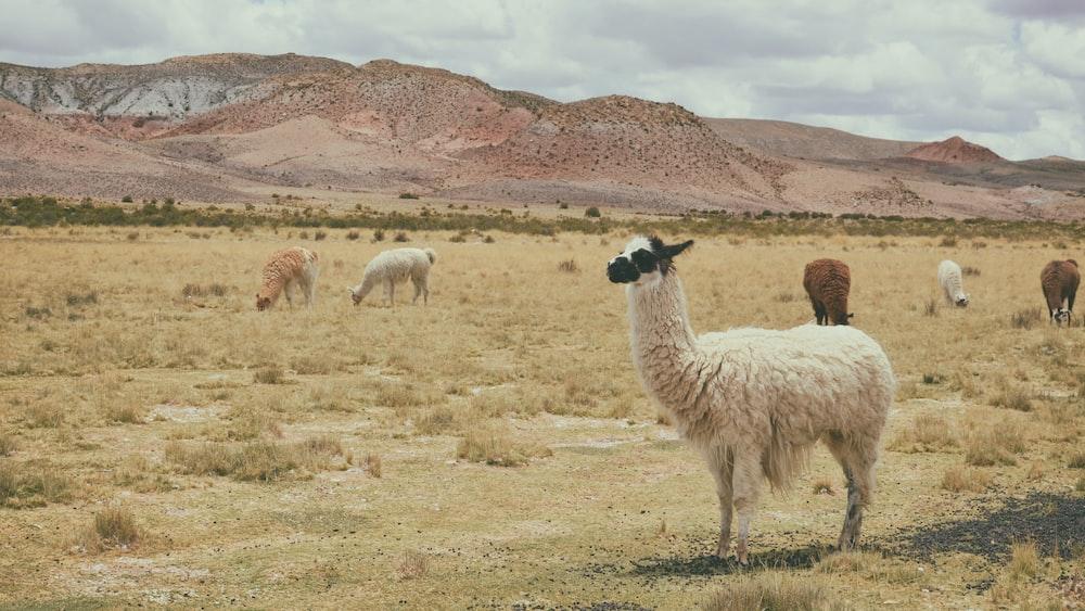 white llama on brown grass