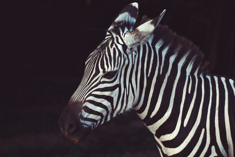 zebra in shallow focus lens