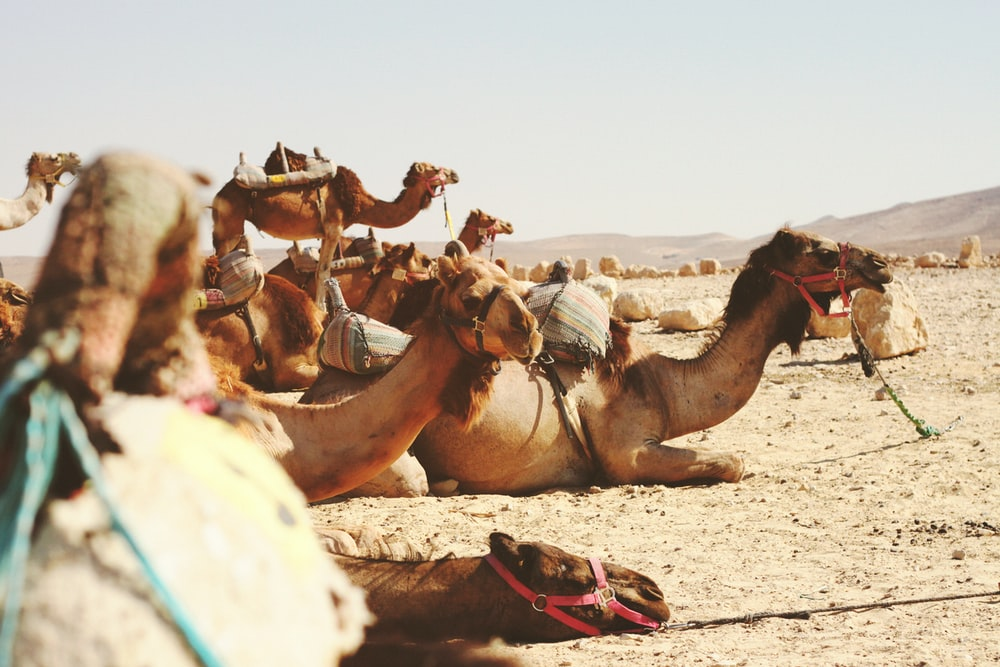 five camels on field