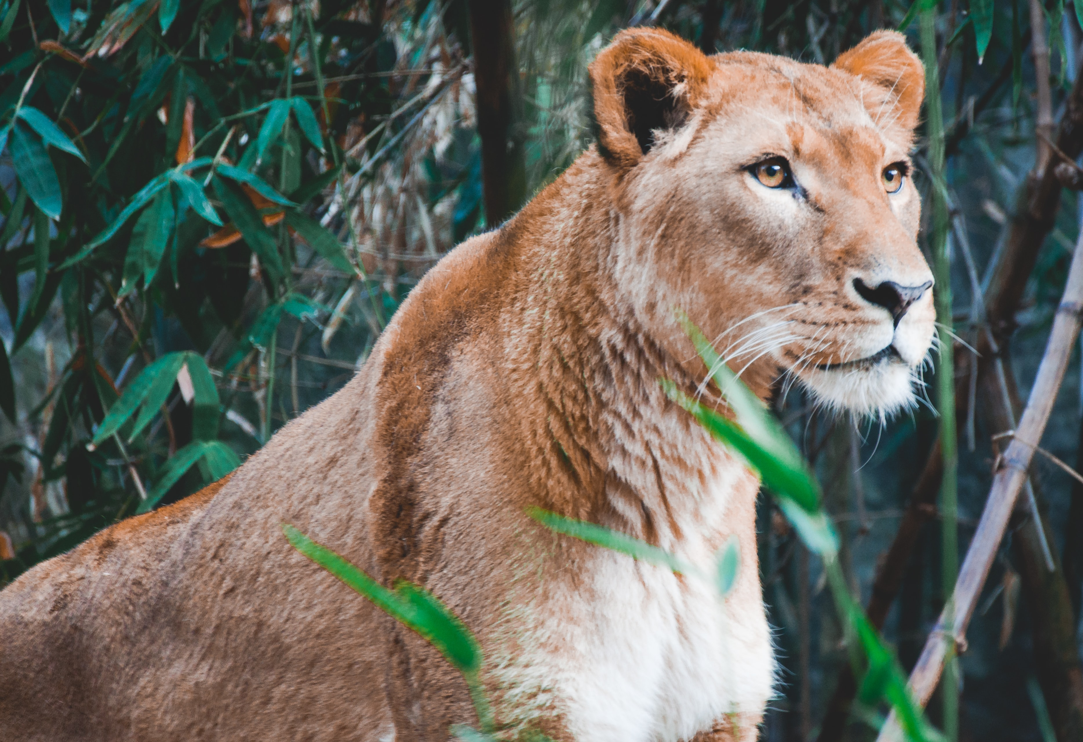 Female lion lioness in the wild near trees with green leaves