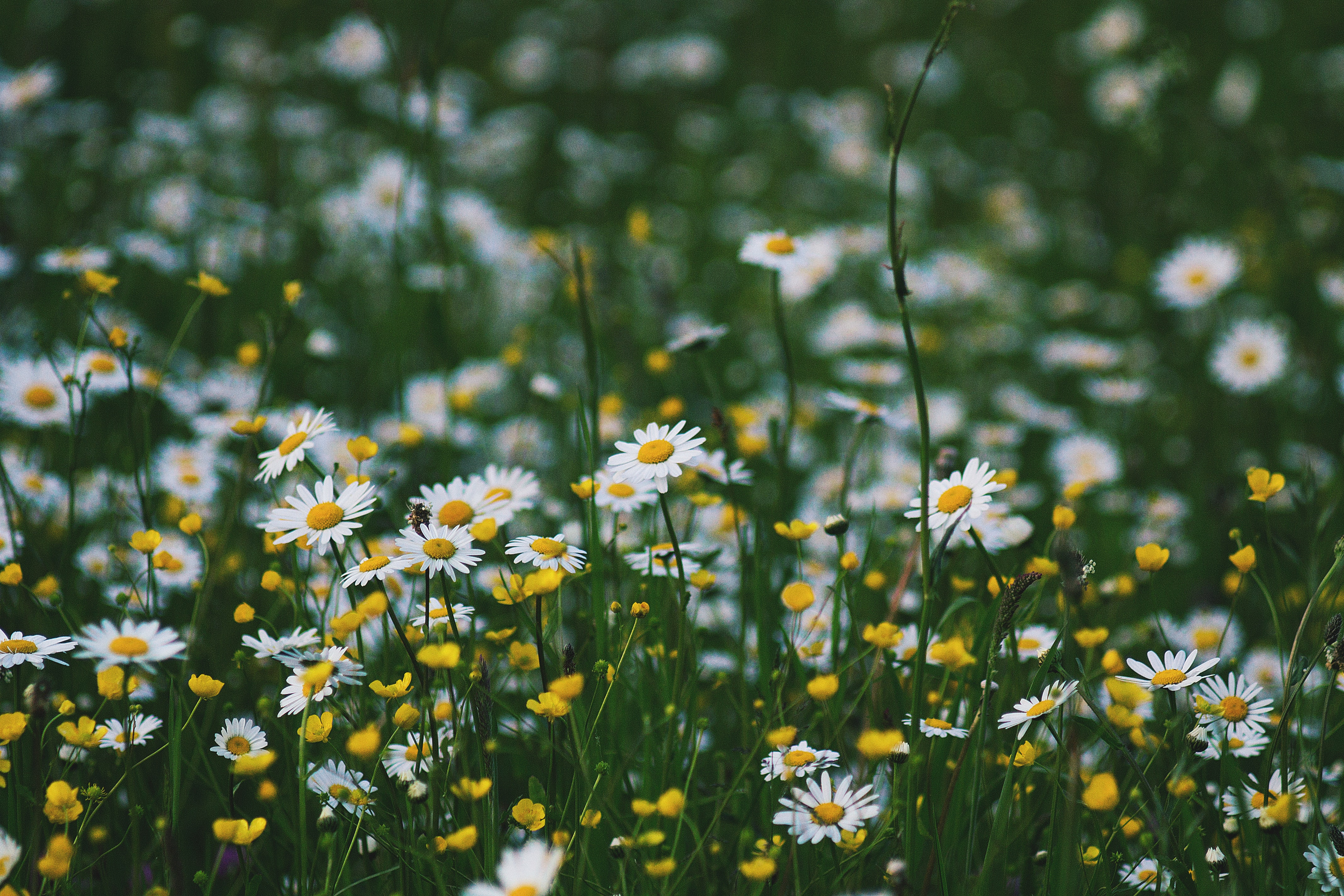 A green patch with chamomile and buttercup flowers
