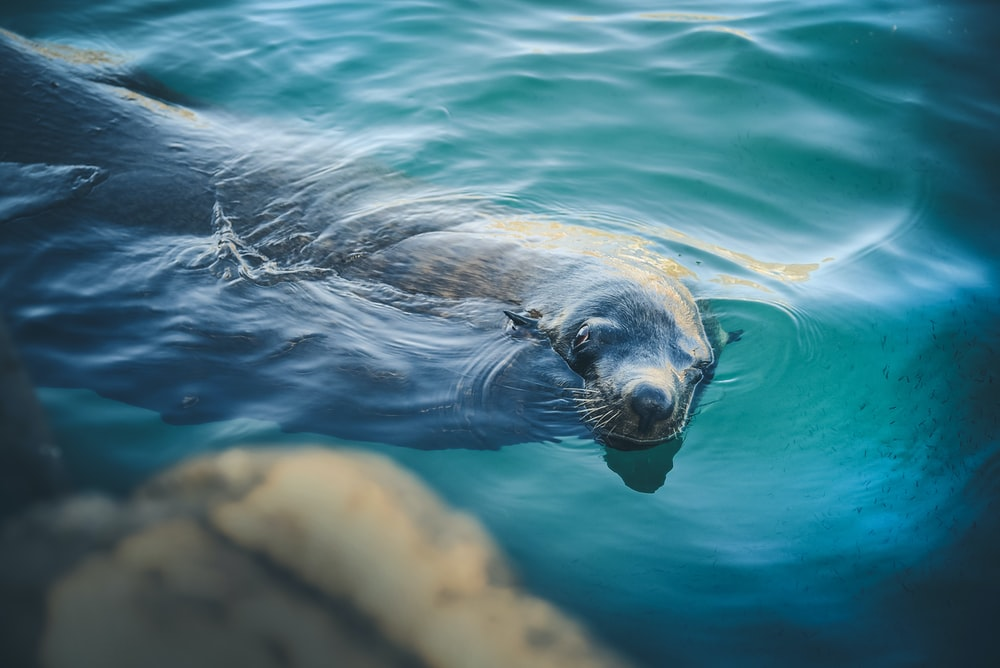sealion swimming in water