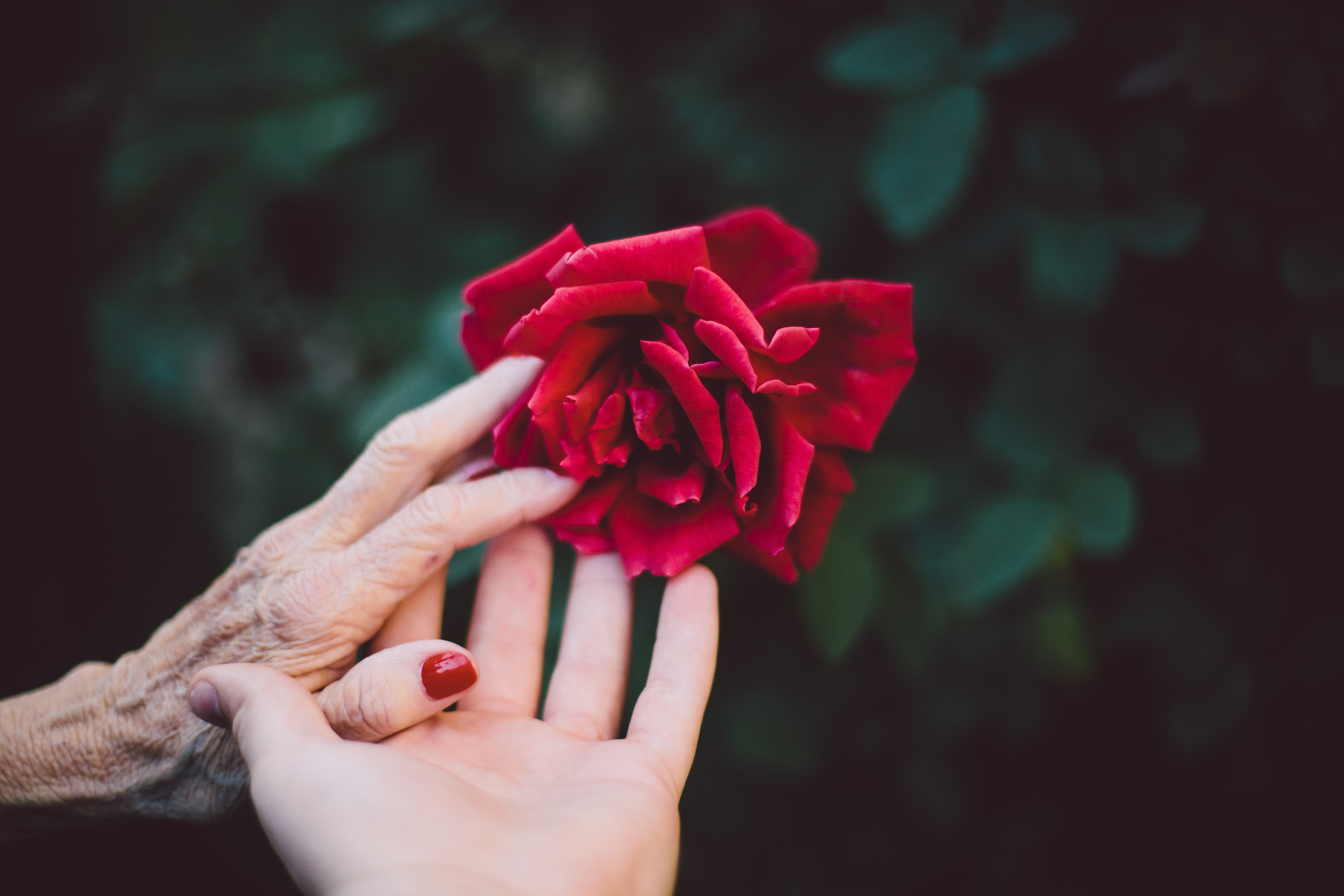 An image of two white-skinned hands, one elderly and one younger, touching a red rose.