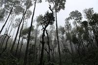 Trees Mist Chikkamagaluru