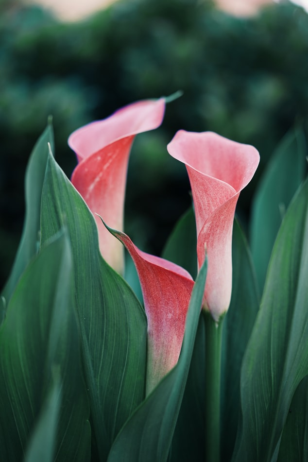 Calla Lily | 21 Awesome Pond Plants For Your Dream Water Garden