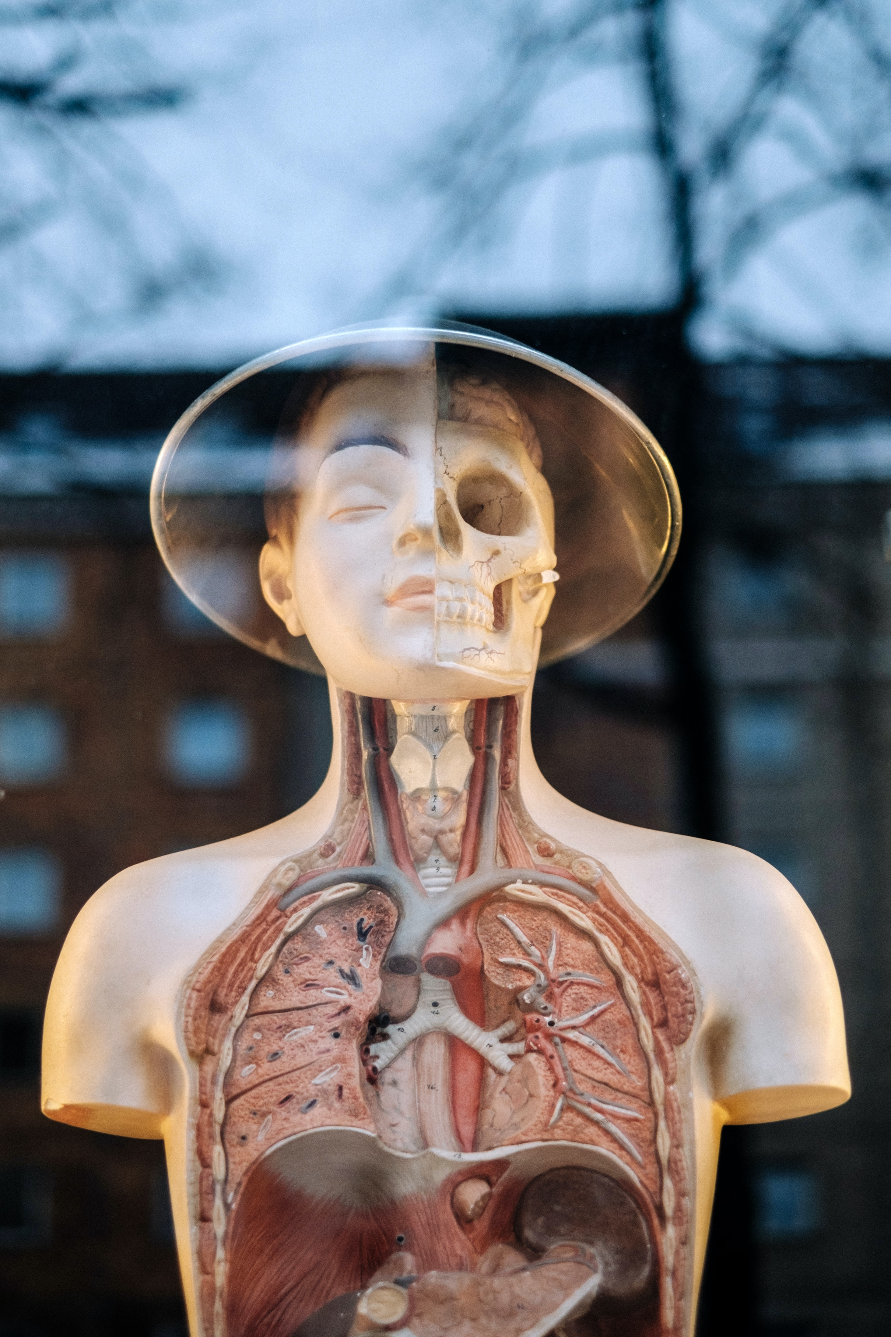 A model of the human body reflected in a window