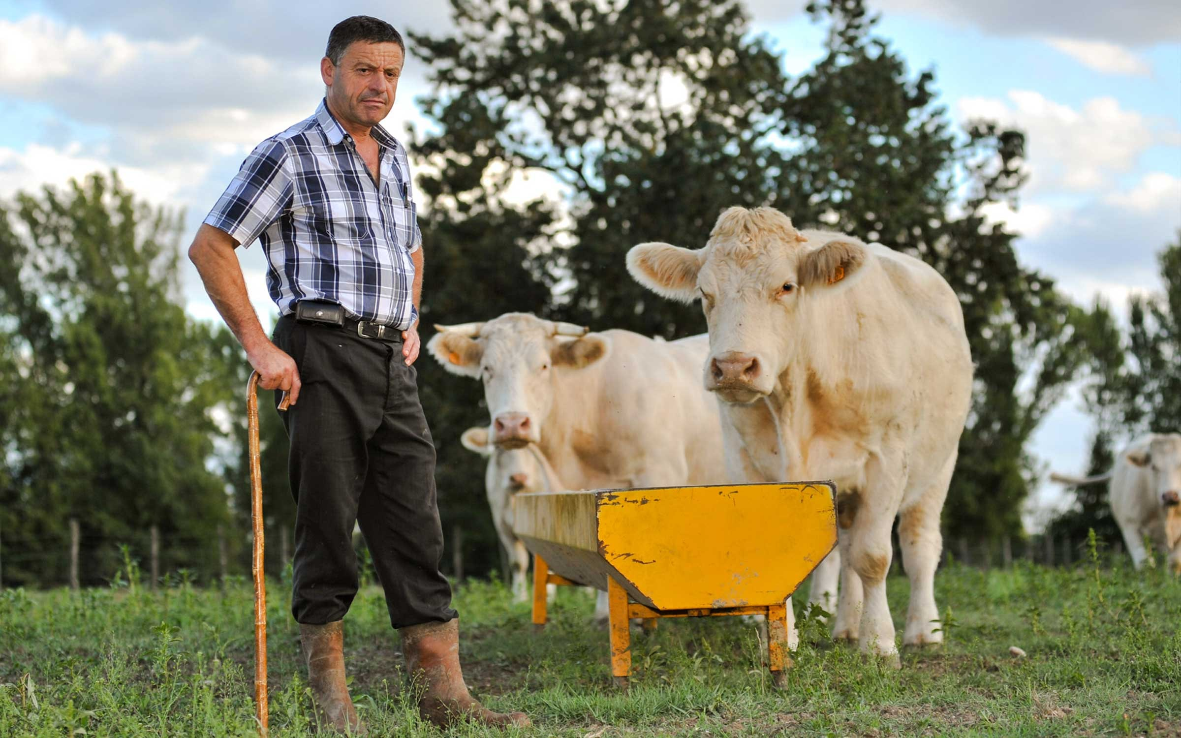 A farmer standing in a field next to his cows that are drinking water out of a yellow trough