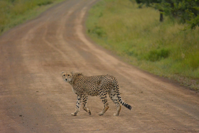 A big feline cheetah walking bravely across a dirt road