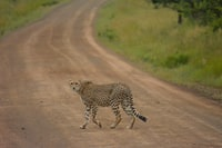 cheetah near green grass
