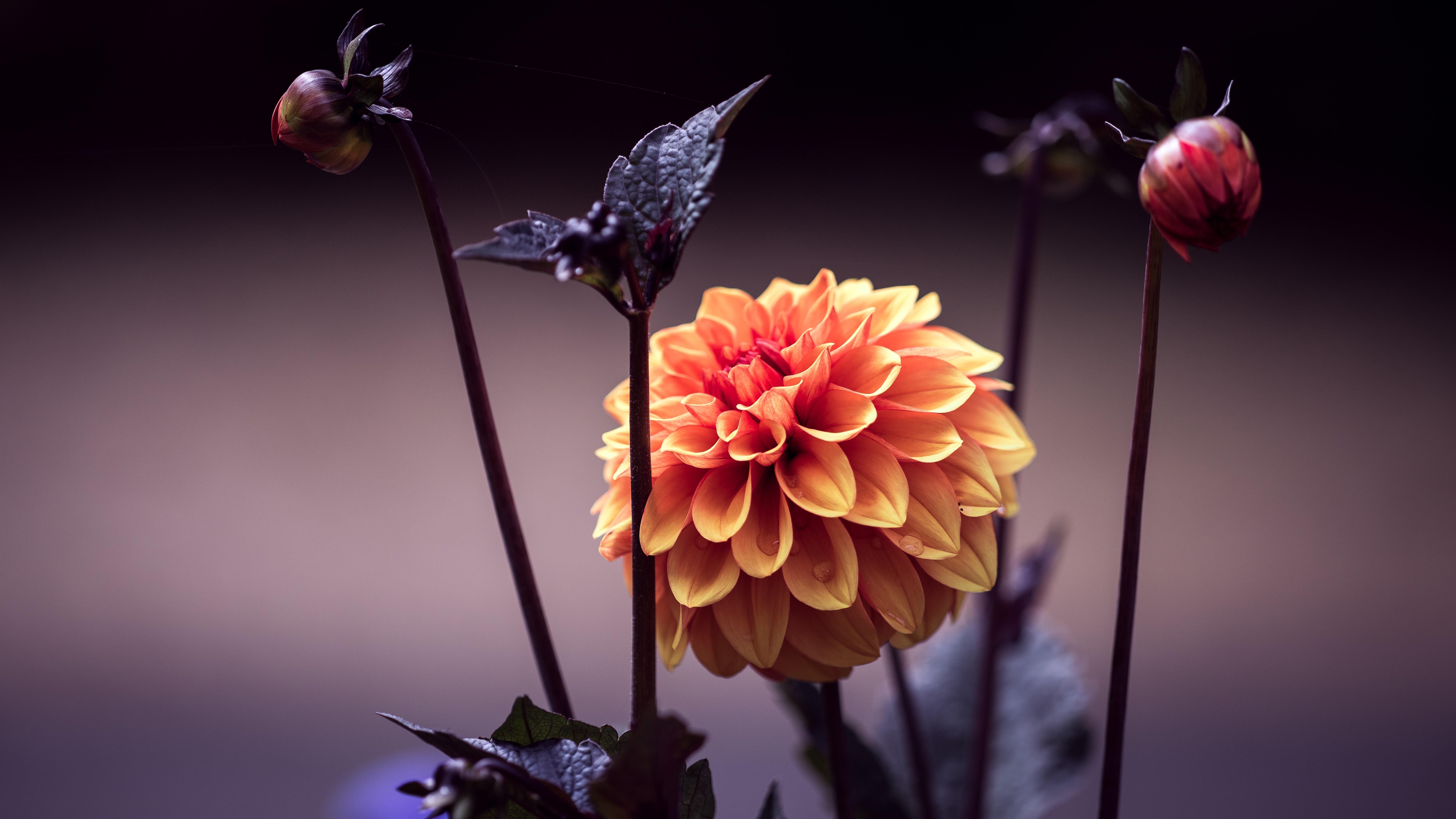 Close-up of a radiant orange dahlia flower