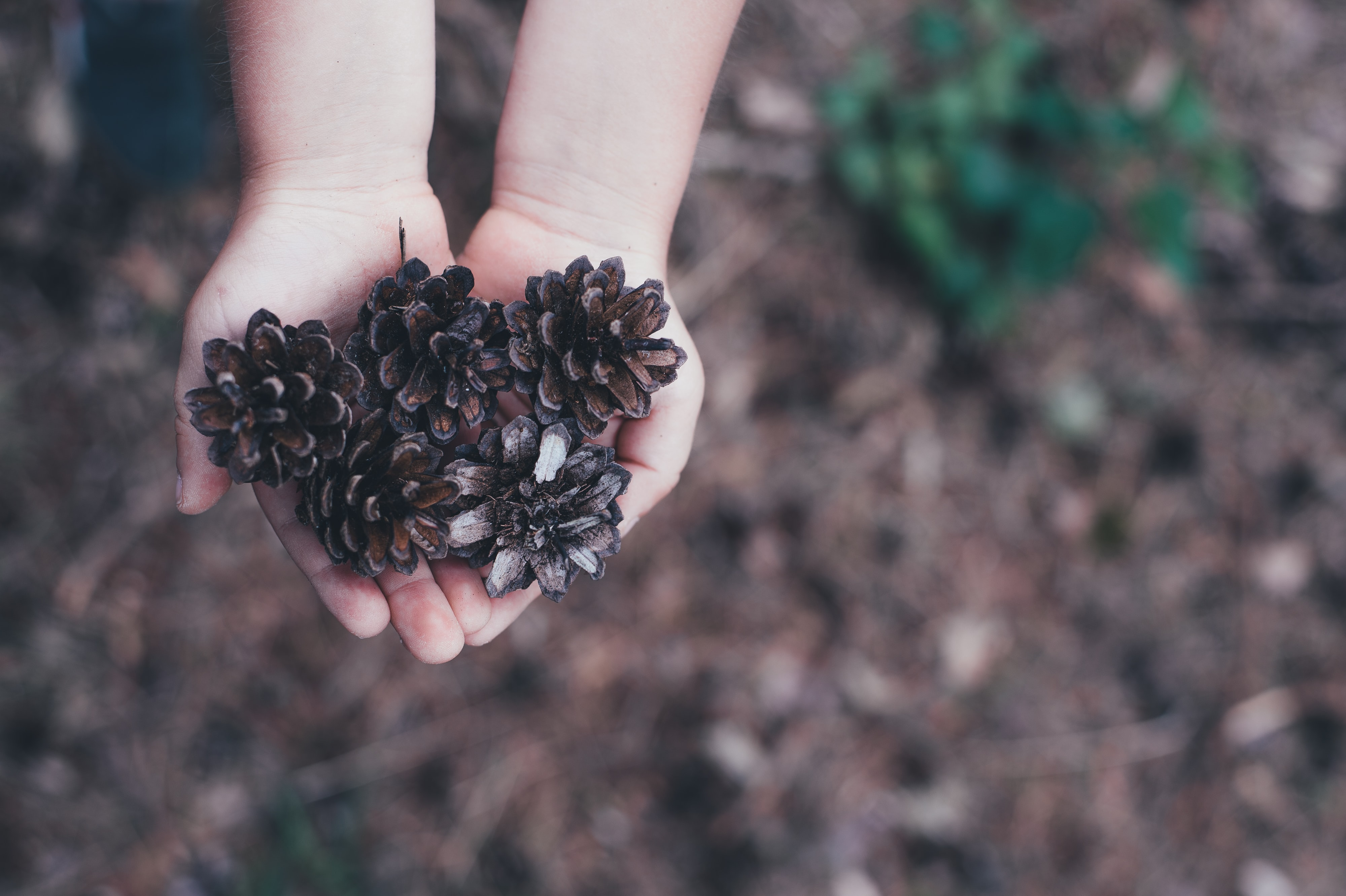 Child's hands holding out several pinecones in a forest setting