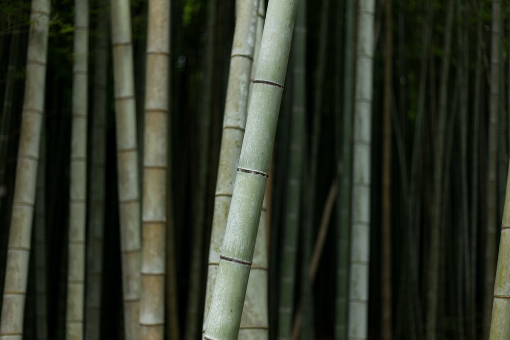 selective focus photography of bamboo trees