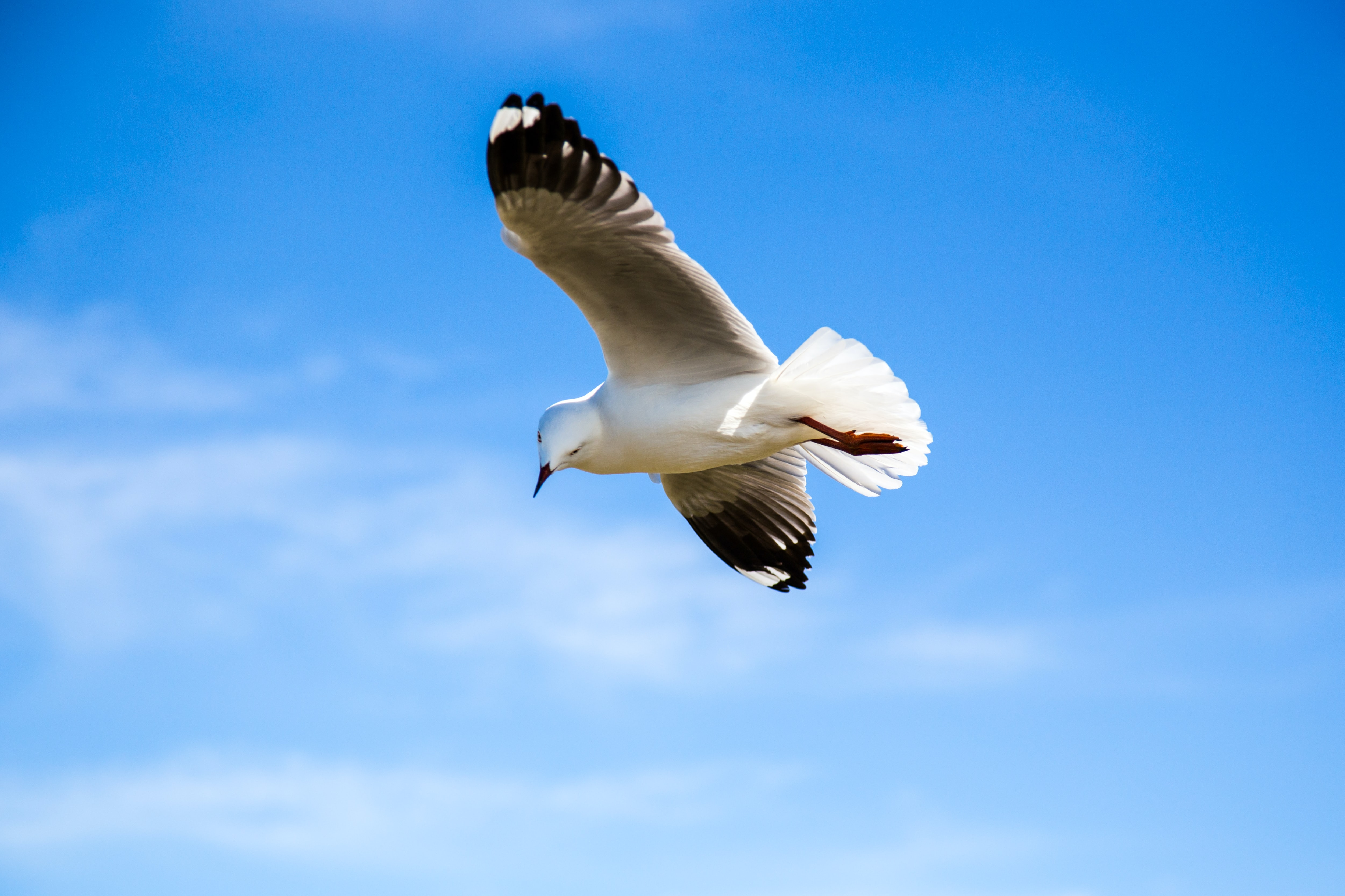 black and white bird flying under blue sky