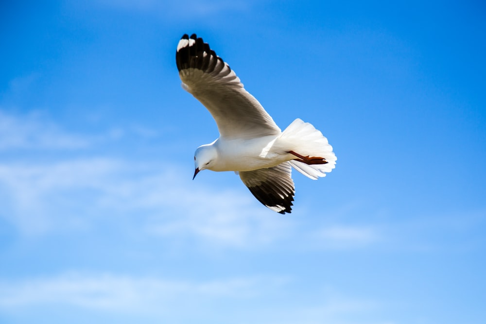 black and white bird flying under blue sky