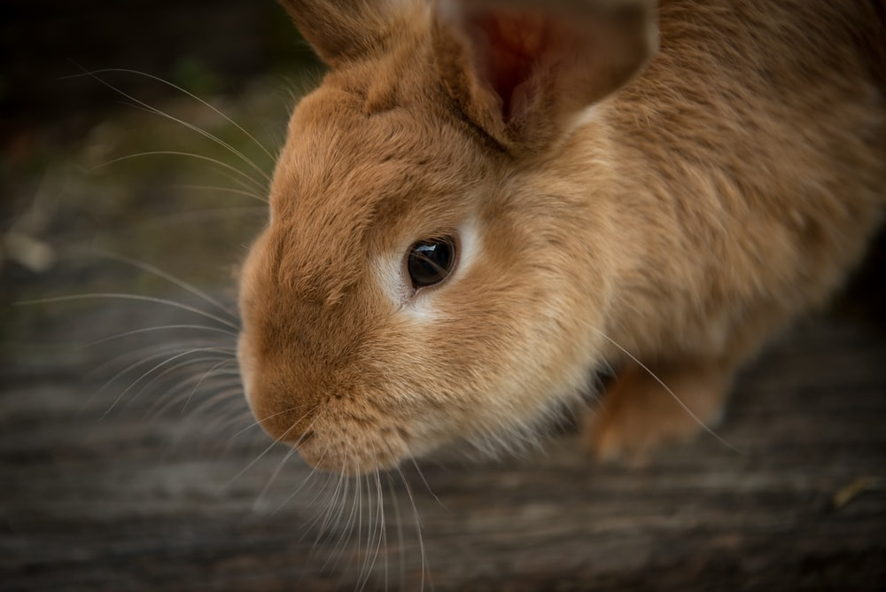 brown rabbit in shallow focus