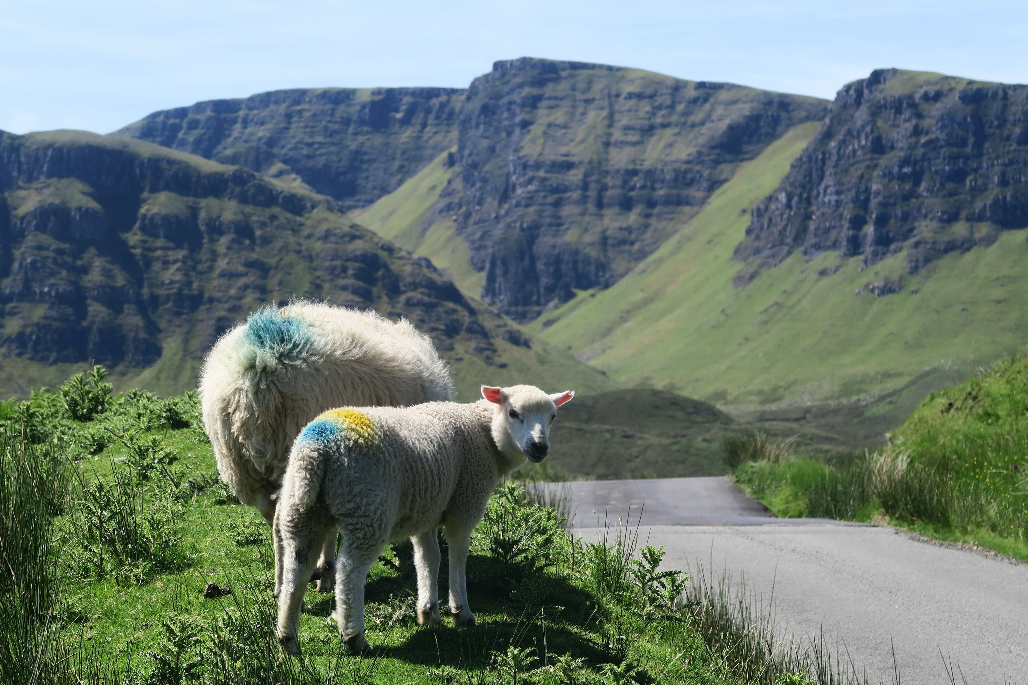 Sheep marked with colorful dots graze by the roadside