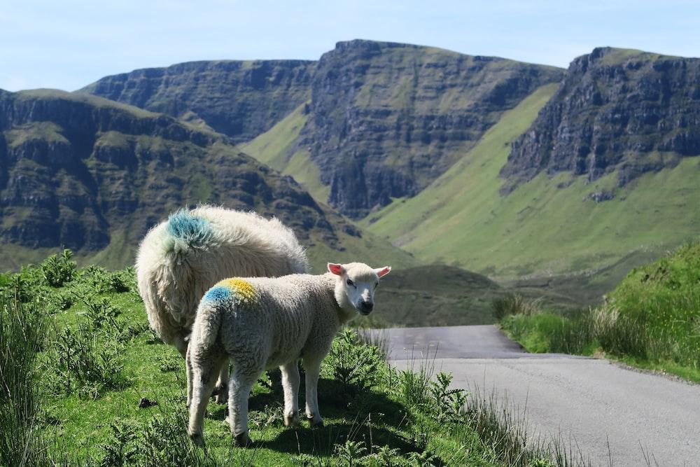 two white lambs