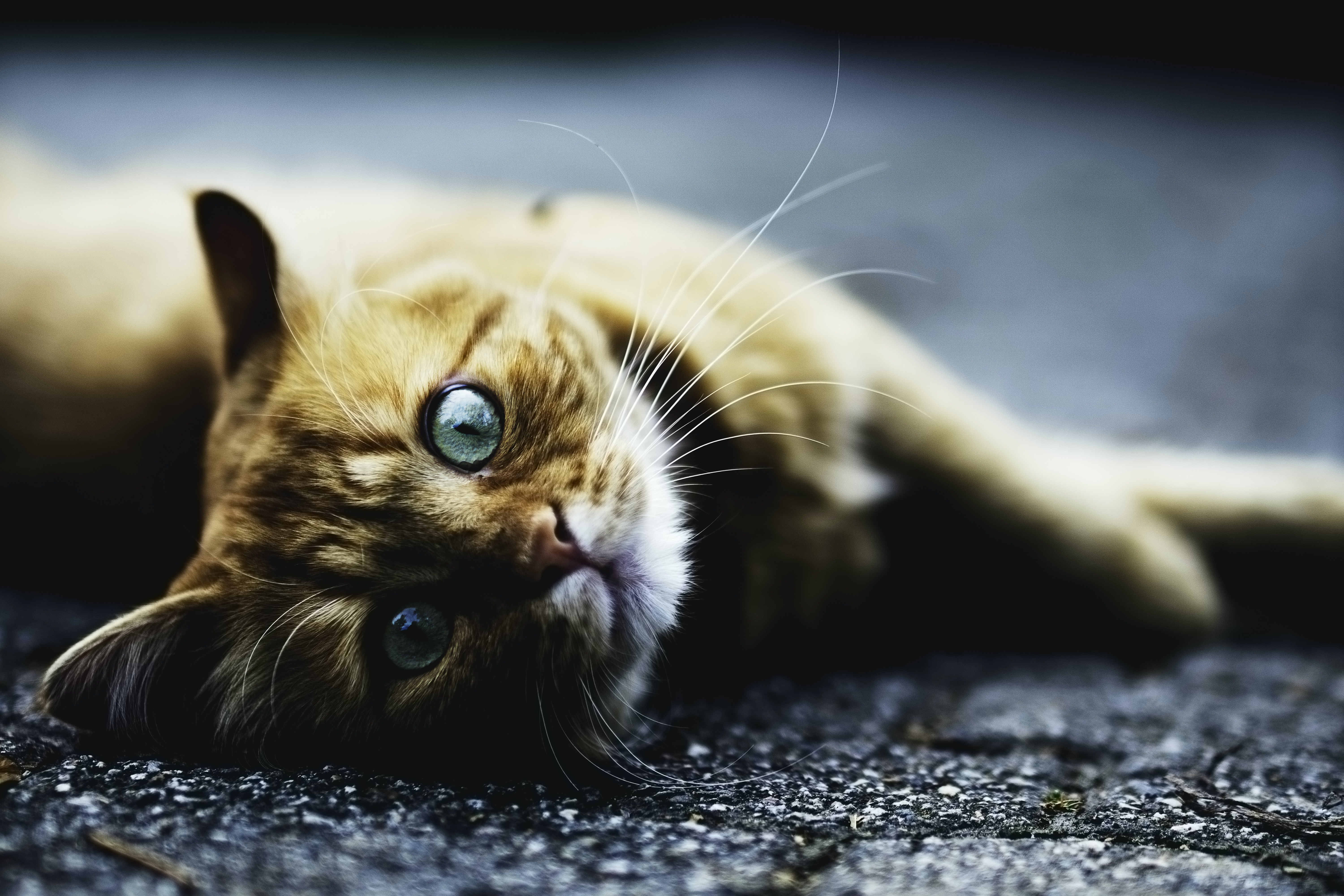 A ginger cat looks at the camera while lying down on its side
