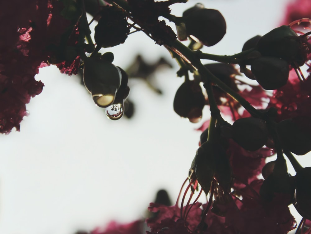 A macro shot of water droplets hanging from green flower buds