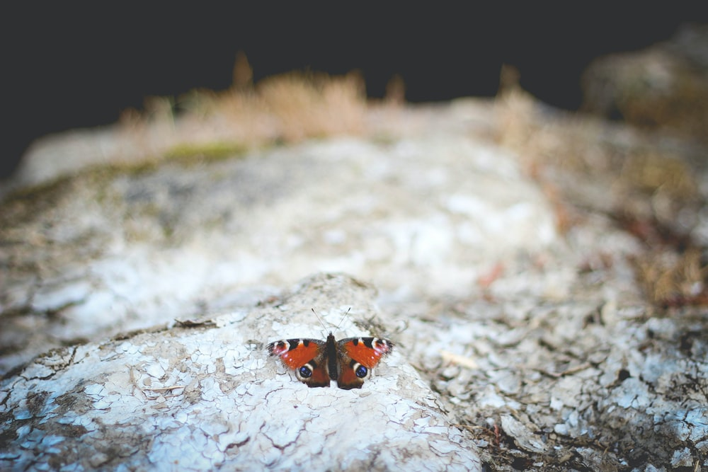 selective focus photography of red Polyphemus moth