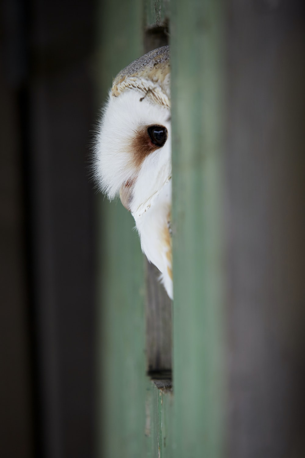 An owl peeking at the camera while sitting in a wall opening.