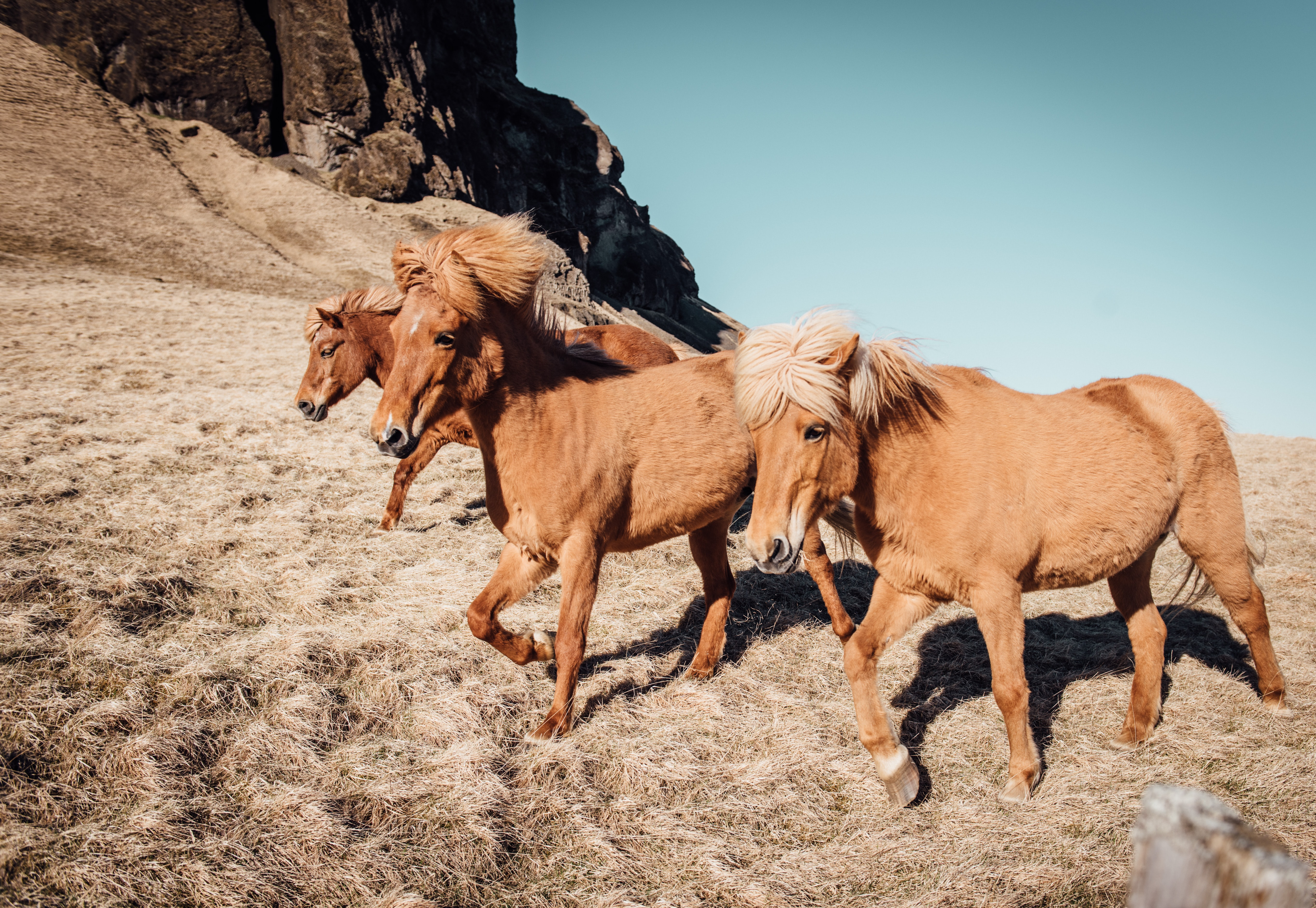 A group of brown ponies running on dry grass at the foot of a rocky hill