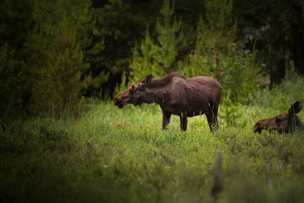 selective focus photography of brown moose surrounded by trees