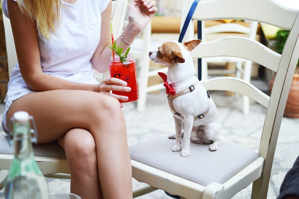 smooth white and tan Chihuahua puppy sitting on white wooden ladder chair beside woman holding fruit shake drink close-up photo
